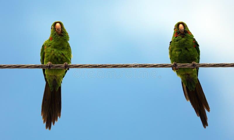 Pares bonitos de papagaios verdes que falam e que sorriem com fundo do céu azul imagens de stock royalty free