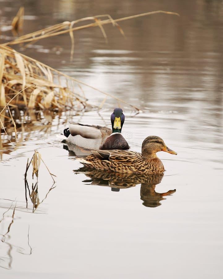 Pares bonitos do pato em uma natação do lago imagens de stock royalty free