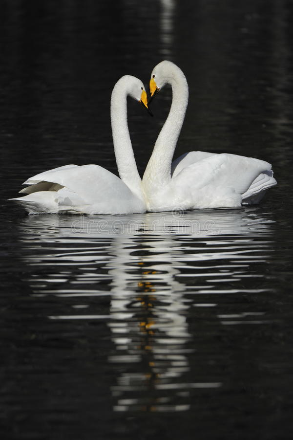 Pares brancos da cisne fotografia de stock royalty free