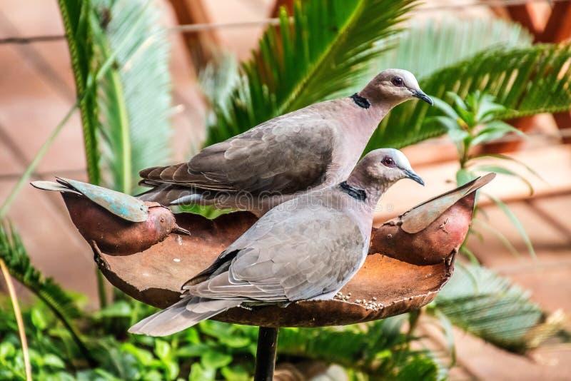 Pares colocados um colar de lamentação da pomba que sentam-se no banho do pássaro imagem de stock