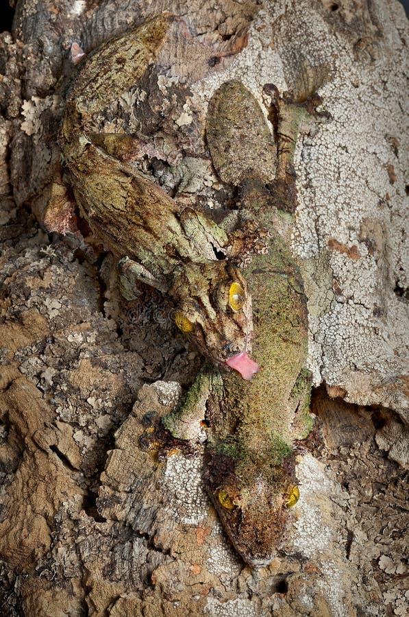 Pares cubiertos de musgo del gecko fotografía de archivo libre de regalías