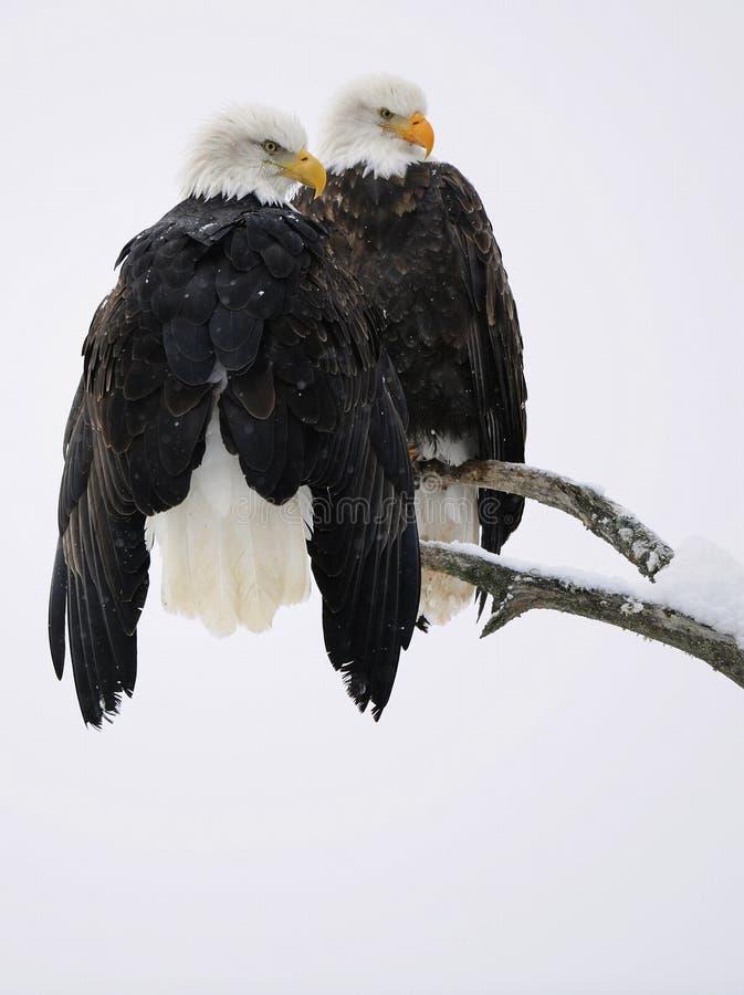 Pares da águia calva foto de stock royalty free