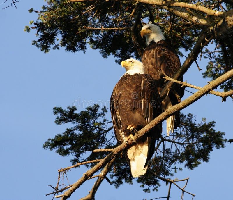 Pares da águia calva imagens de stock royalty free