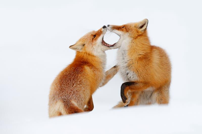 Pares da raposa vermelha que jogam na neve Momento engraçado na natureza Cena do inverno com o animal selvagem da pele alaranjada fotografia de stock