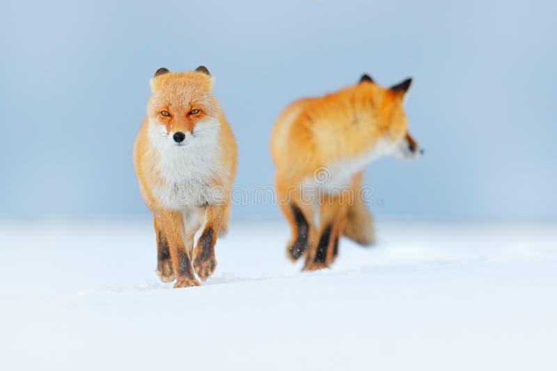 Pares da raposa vermelha que jogam na neve Momento engraçado na natureza Cena do inverno com o animal selvagem da pele alaranjada imagem de stock