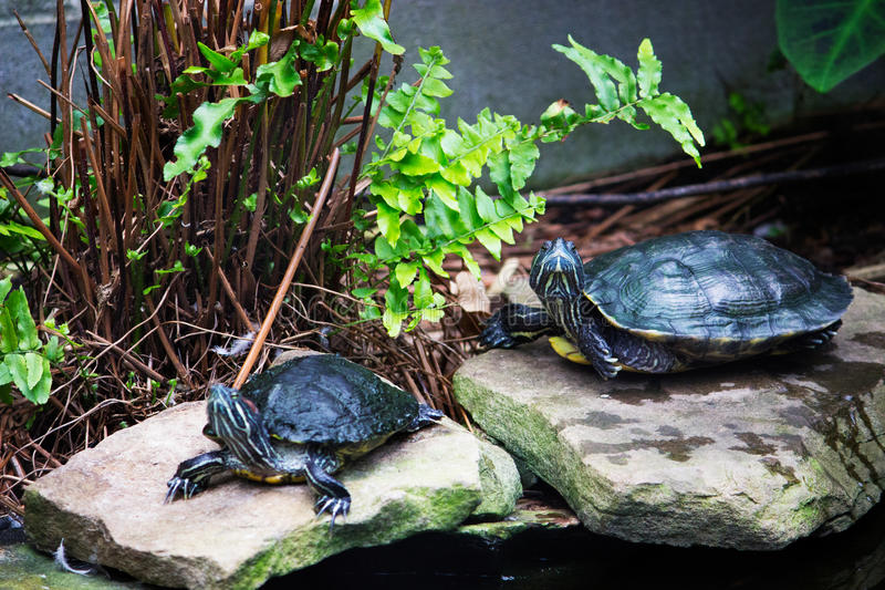 Pares da tartaruga fotografia de stock