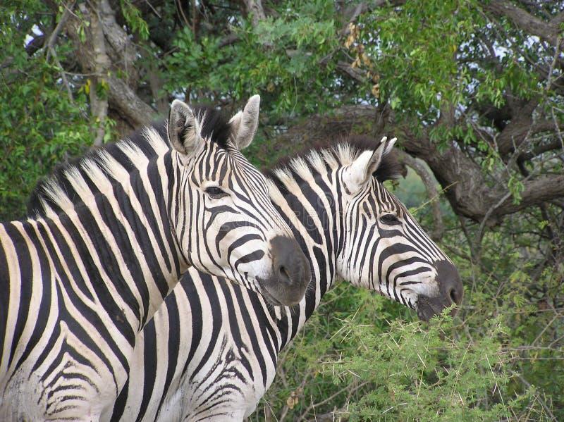 Pares da zebra imagens de stock