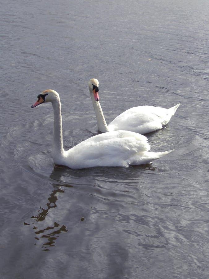 Pares Das Cisnes #2 Fotos de Stock Royalty Free
