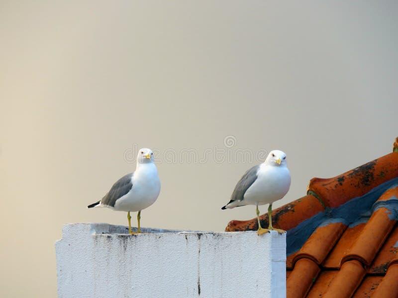 Pares das gaivotas imagem de stock royalty free