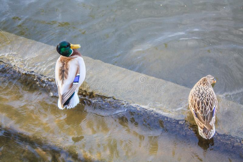 Pares de água potável dos patos de um lago imagens de stock royalty free