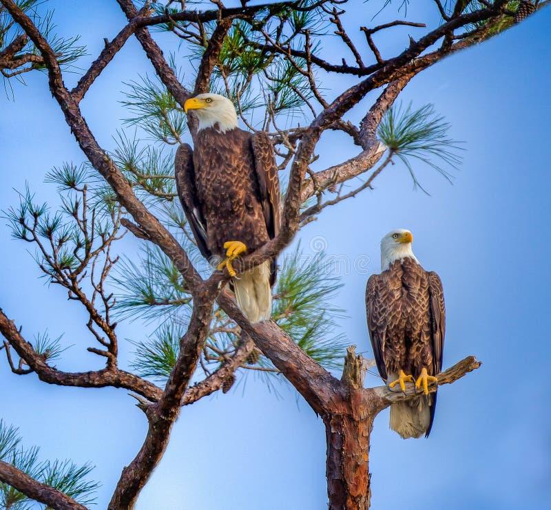 Pares de águias americanas americanas acopladas fotos de stock royalty free