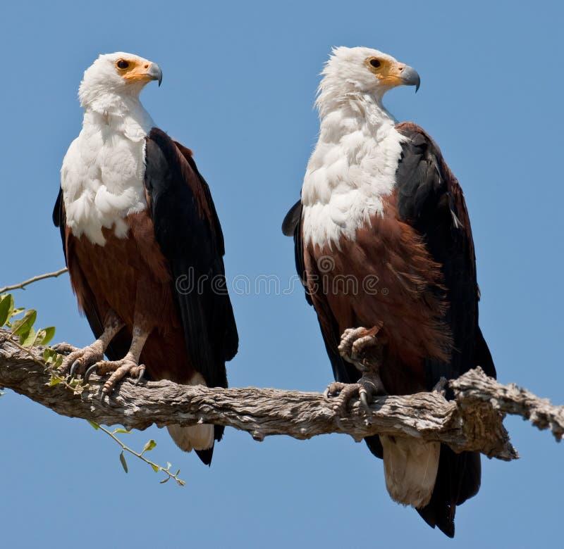 Pares de águias de peixes que sentam-se em uma árvore. imagem de stock royalty free