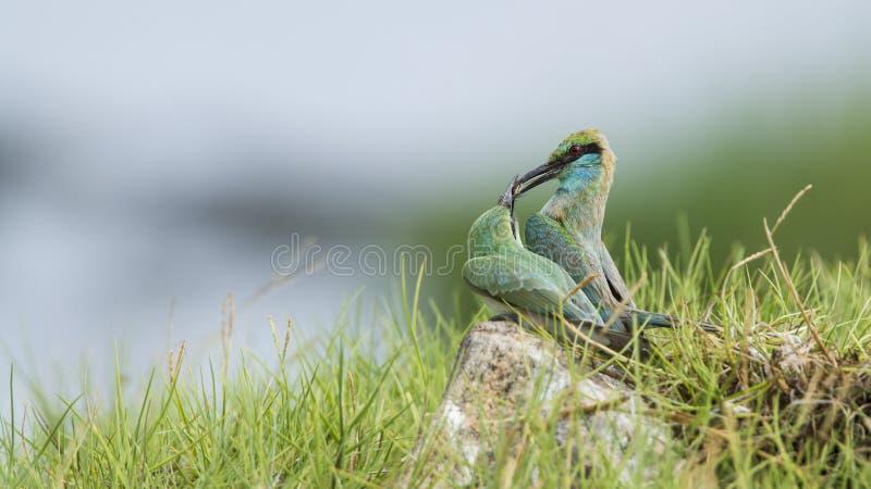 Pares de abelha-comedor verde, orientalis do Merops do Specie na lagoa da baía de Arugam fotos de stock royalty free