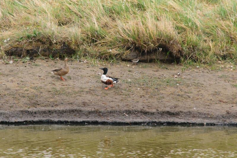 Pares de acoplamento de patos do pato-colhereiro do norte imagens de stock