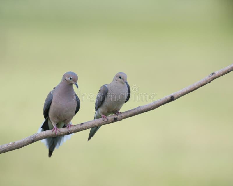 Pares de acoplamiento de palomas de luto fotografía de archivo libre de regalías