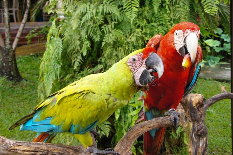 Pares de ararauna azul-e-amarelo bonito das aros dos pássaros do papagaio da arara conhecido como a arara do azul-e-ouro que sent fotografia de stock royalty free