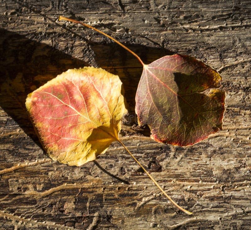 Pares de Aspen Leaves fotografia de stock