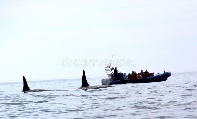 Pares de ballenas transitorias de la orca de Biggs fotografía de archivo libre de regalías