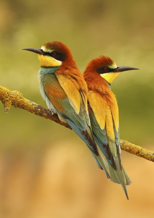 Pares de bee-eater fotos de stock royalty free