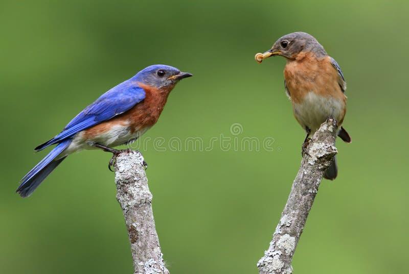 Pares de Bluebirds orientais foto de stock