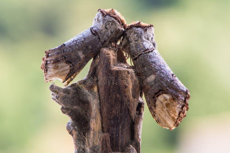 Pares de bucephala de Phalera de las polillas de la piel de ante-extremidad en el palillo imagen de archivo