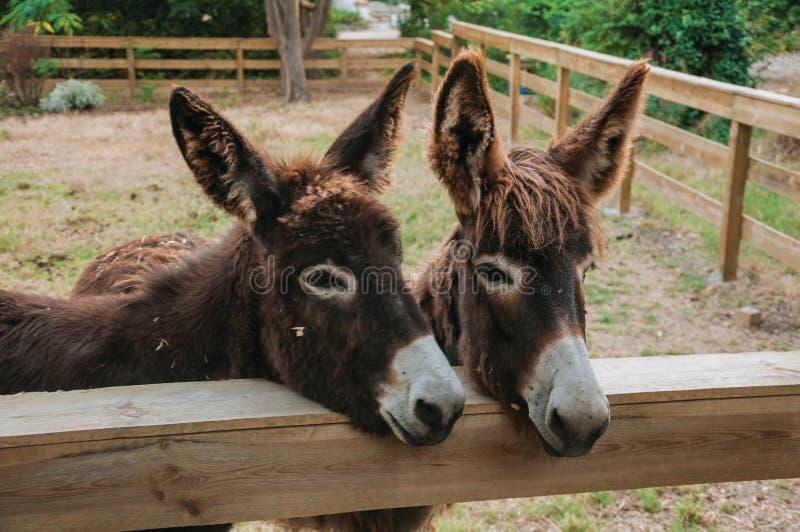 Pares de burros agradables en una granja imagen de archivo