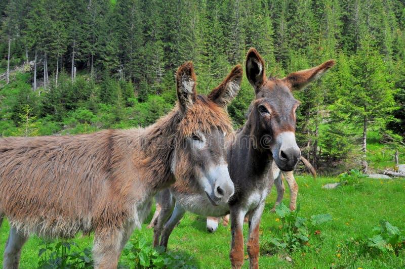 Download Pares De Burros En Las Altas Montañas Imagen de archivo - Imagen de libre, animales: 41917369