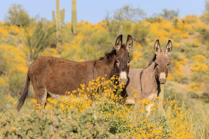 Pares de Burros salvajes lindos en primavera en Arizona fotografía de archivo libre de regalías