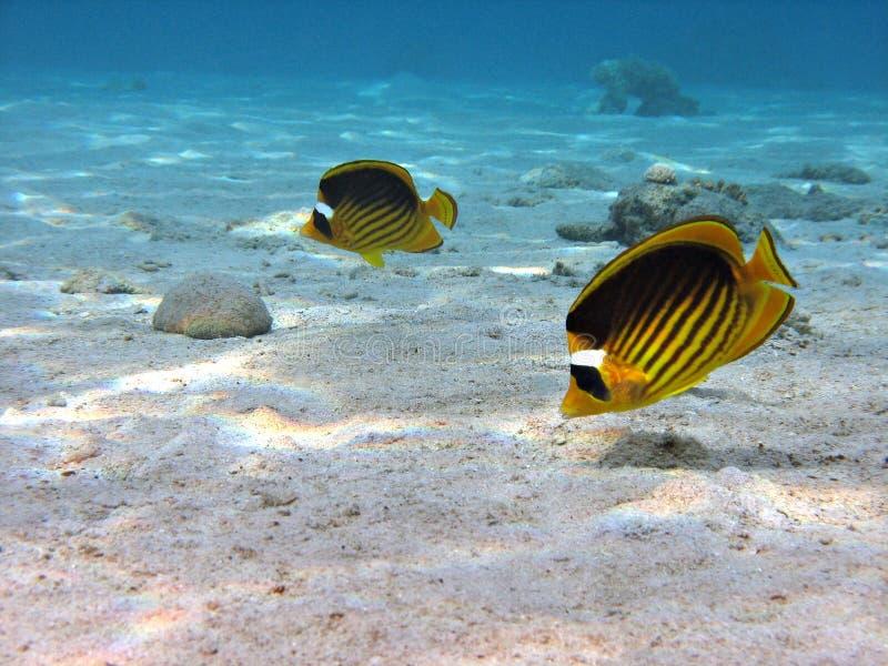 Pares de Butterflyfish imagens de stock
