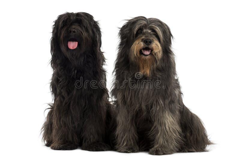 Pares de cães pastor Catalan junto, arfando fotografia de stock