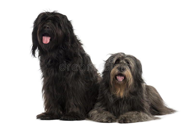 Pares de cães pastor Catalan que são junto, arfando foto de stock