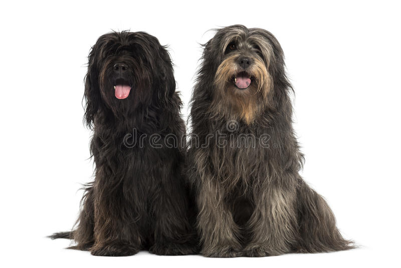 Pares de cães pastor Catalan que são junto, arfando imagens de stock royalty free