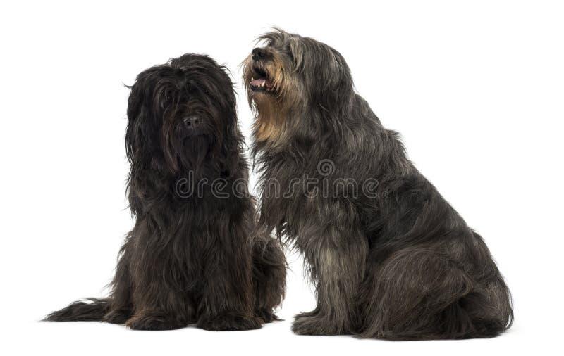 Pares de cães pastor Catalan que sentam-se junto, arfando imagem de stock royalty free