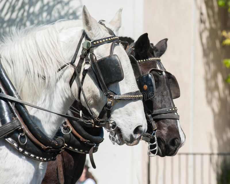 Pares de cabeças de cavalo imagem de stock royalty free