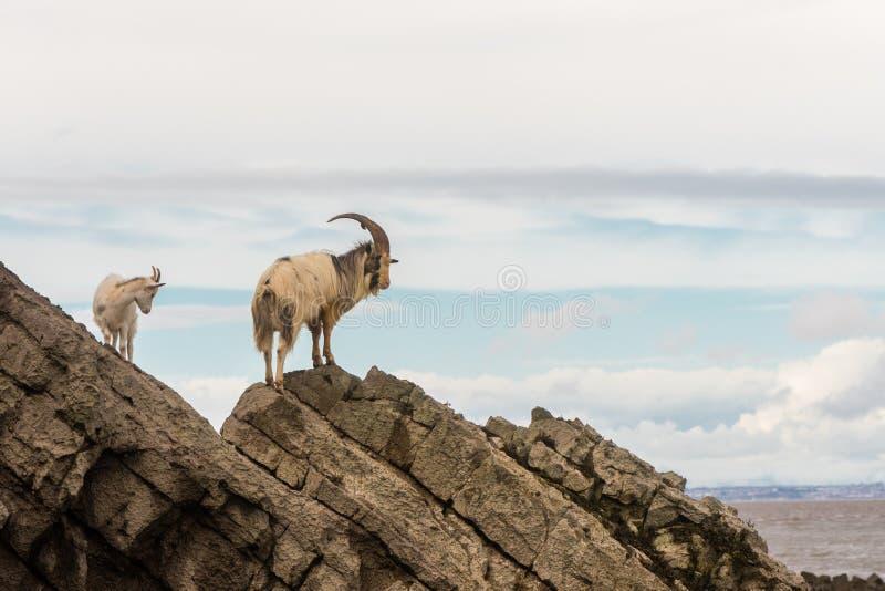 Pares de cabra de montanha feroz em rochas acima do mar fotografia de stock royalty free