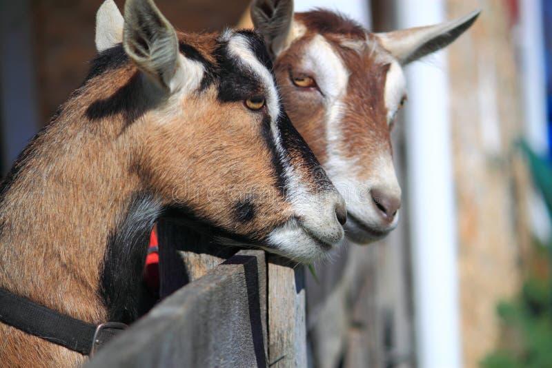 Pares de cabras fotos de stock royalty free