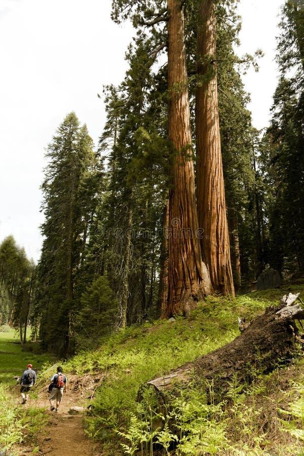 Pares de caminantes en parque nacional de secoya imagen de archivo