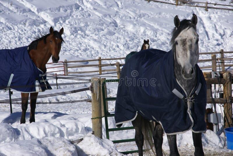 Pares de cavalos com cobertores imagem de stock royalty free