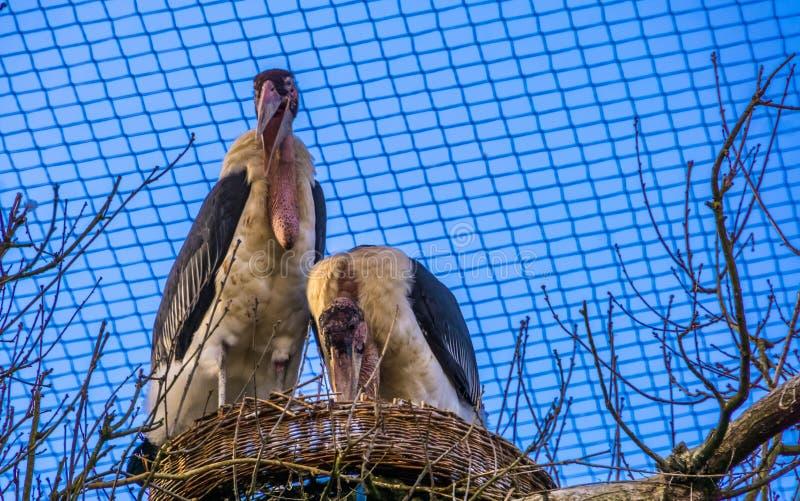 Pares de cegonhas de marabu que estão junto em seu ninho, pássaros tropicais de África durante a produção da estação imagem de stock royalty free