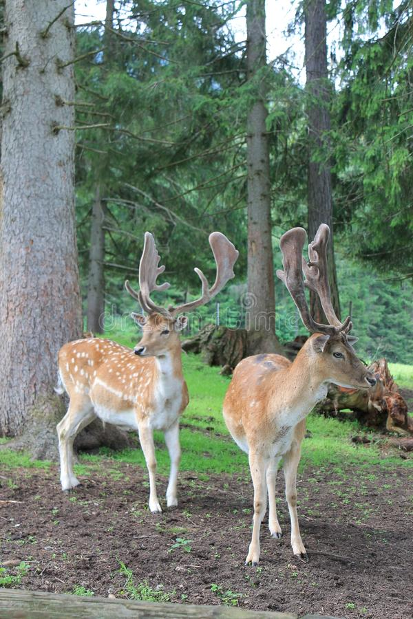 Pares de cervos nas madeiras imagens de stock royalty free