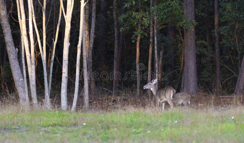 Pares de cervos de whitetail perto de uma floresta de North Carolina imagem de stock