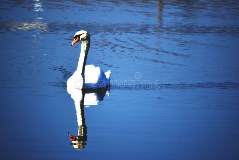 Pares de cisne fotografia de stock royalty free