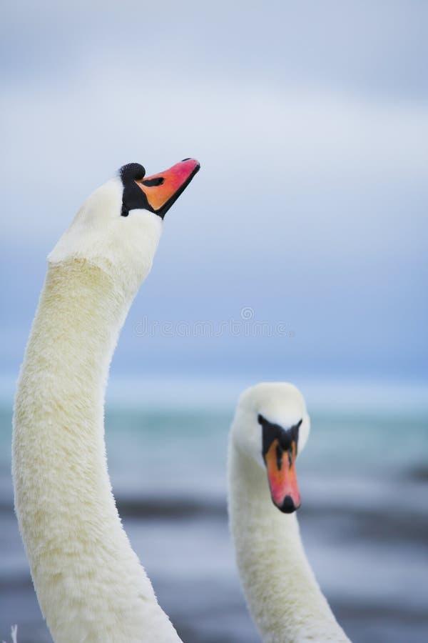 Pares de cisnes blancos imagen de archivo libre de regalías