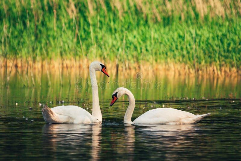 Pares de cisnes blancos cerca de uno a imagen de archivo