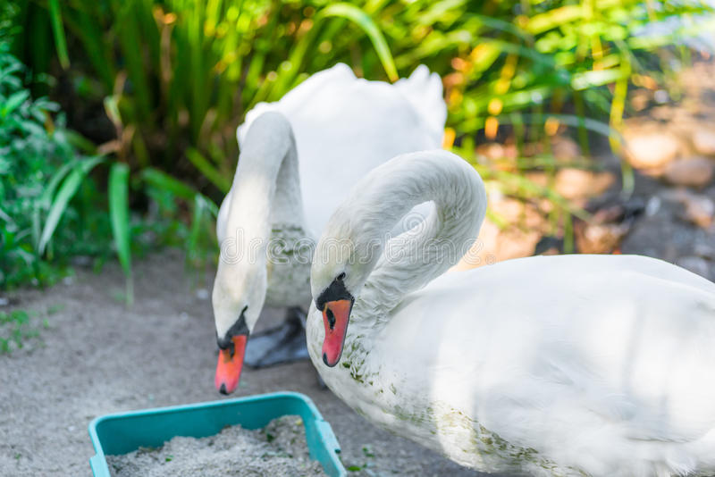 Pares de cisnes brancas bonitas na costa fotos de stock royalty free