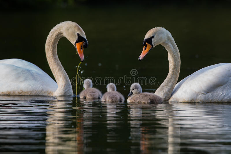 Pares de cisnes com três cisnes novos em uma unidade de família imagens de stock