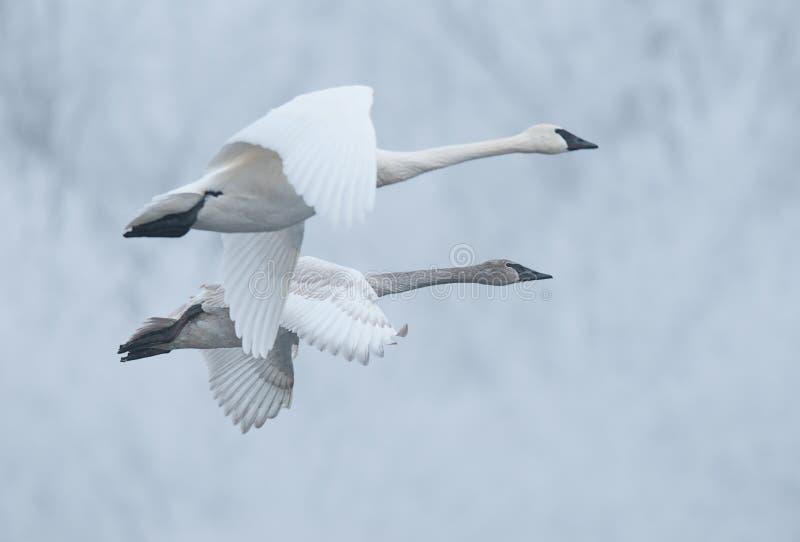 Pares de cisnes da trompetista do vôo (Cygnus buccinator) imagens de stock