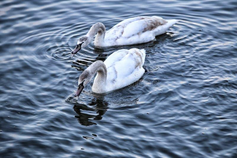 Pares de cisnes jovenes en la consumición ondulada del agua foto de archivo libre de regalías