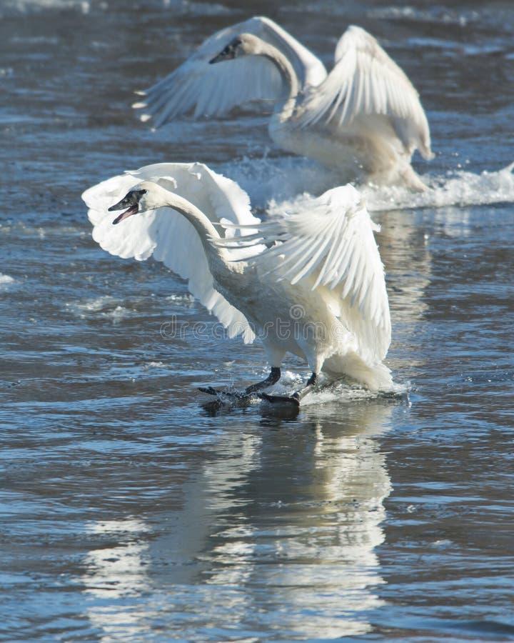 Pares de aterragem das cisnes imagem de stock