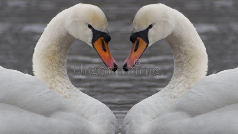 Pares de cisnes que flutuam no rio imagem de stock